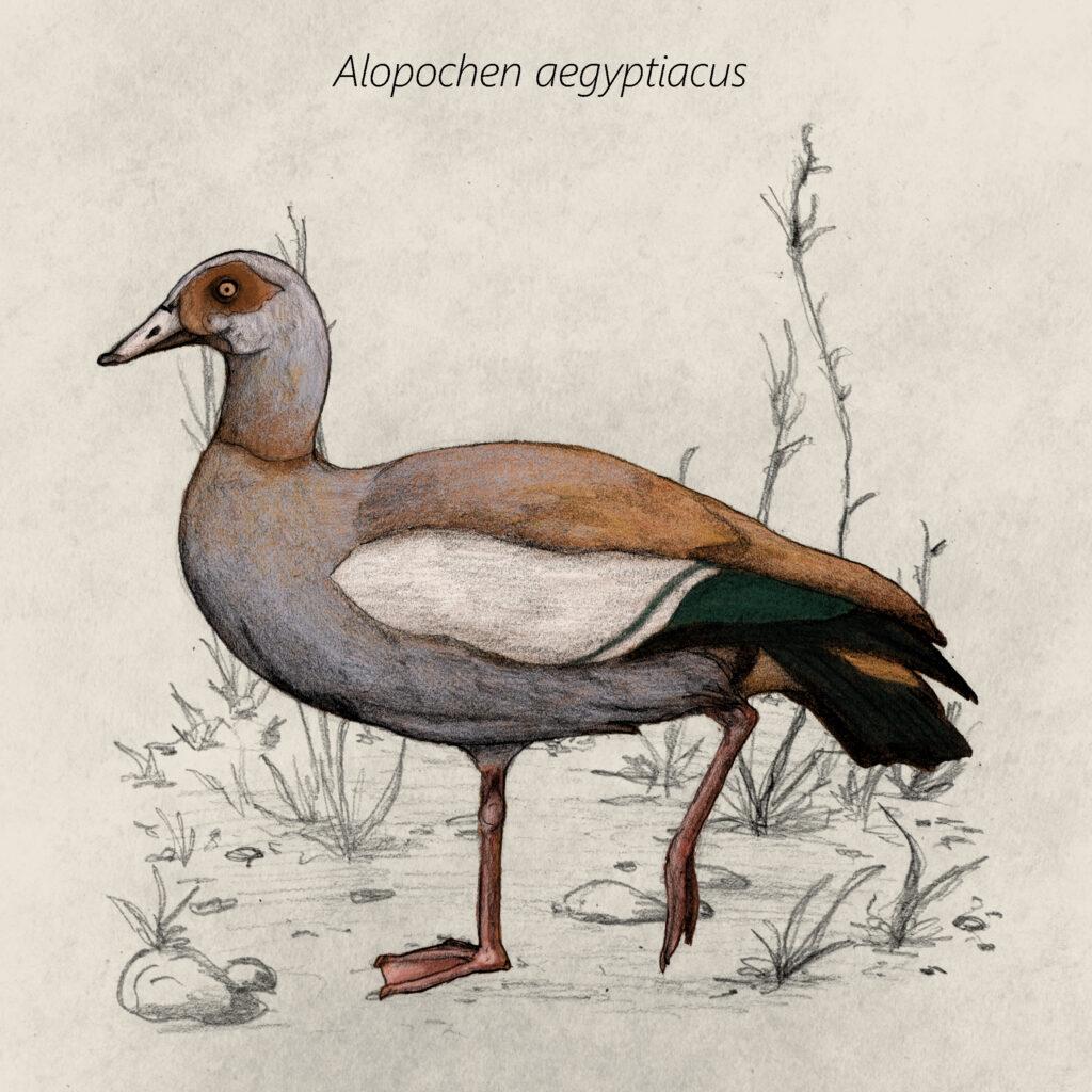 Alopochen aegyptiacus cal