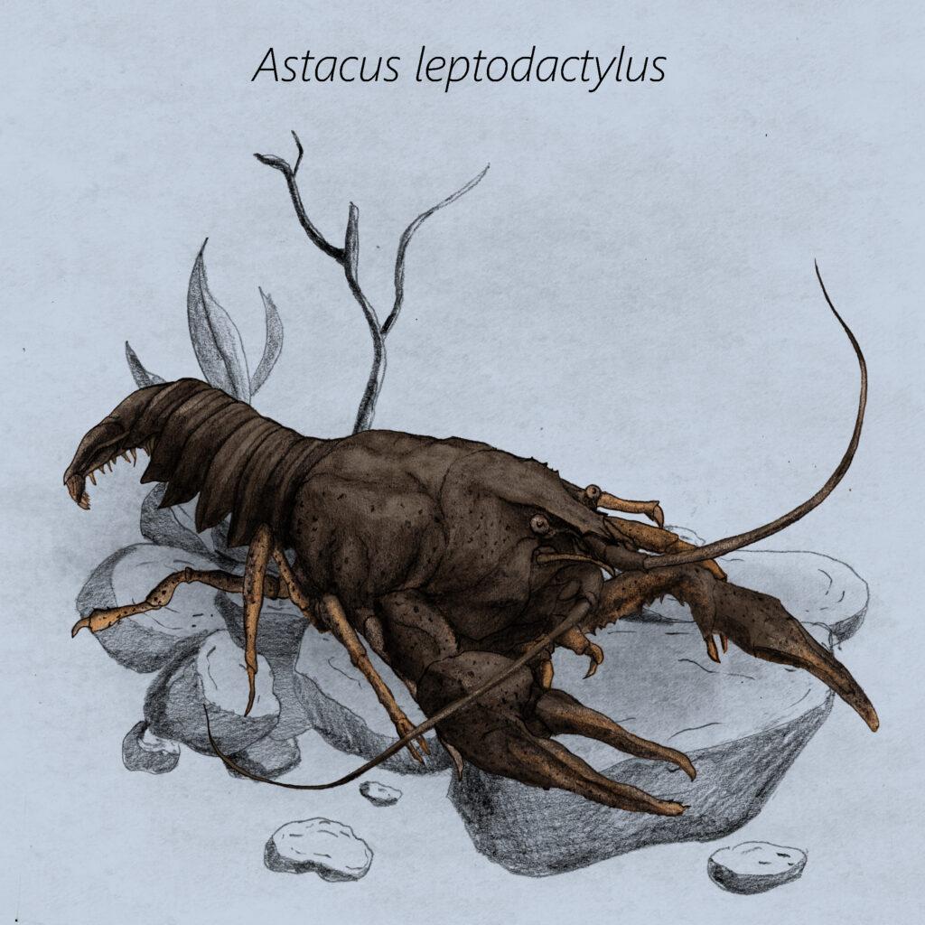 Astacus leptodactylus cal