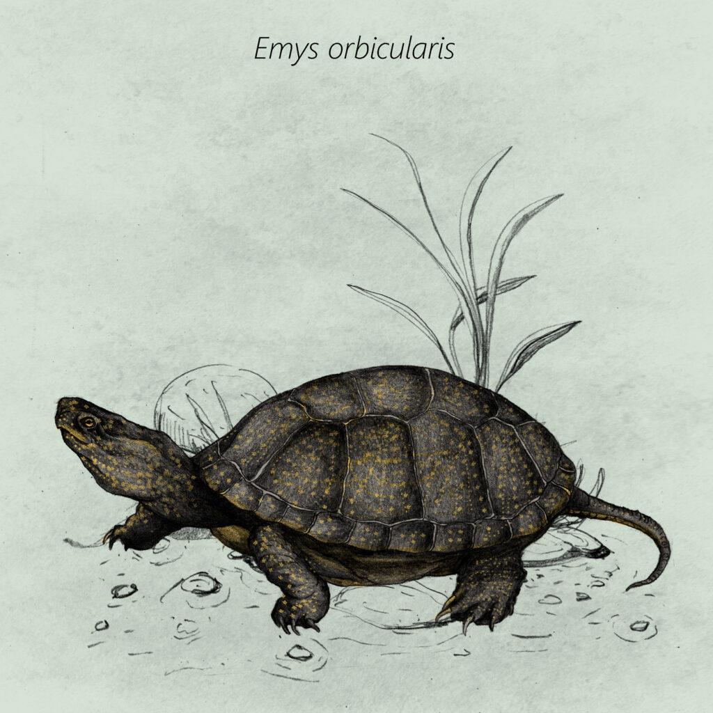 Emys orbicularis cal