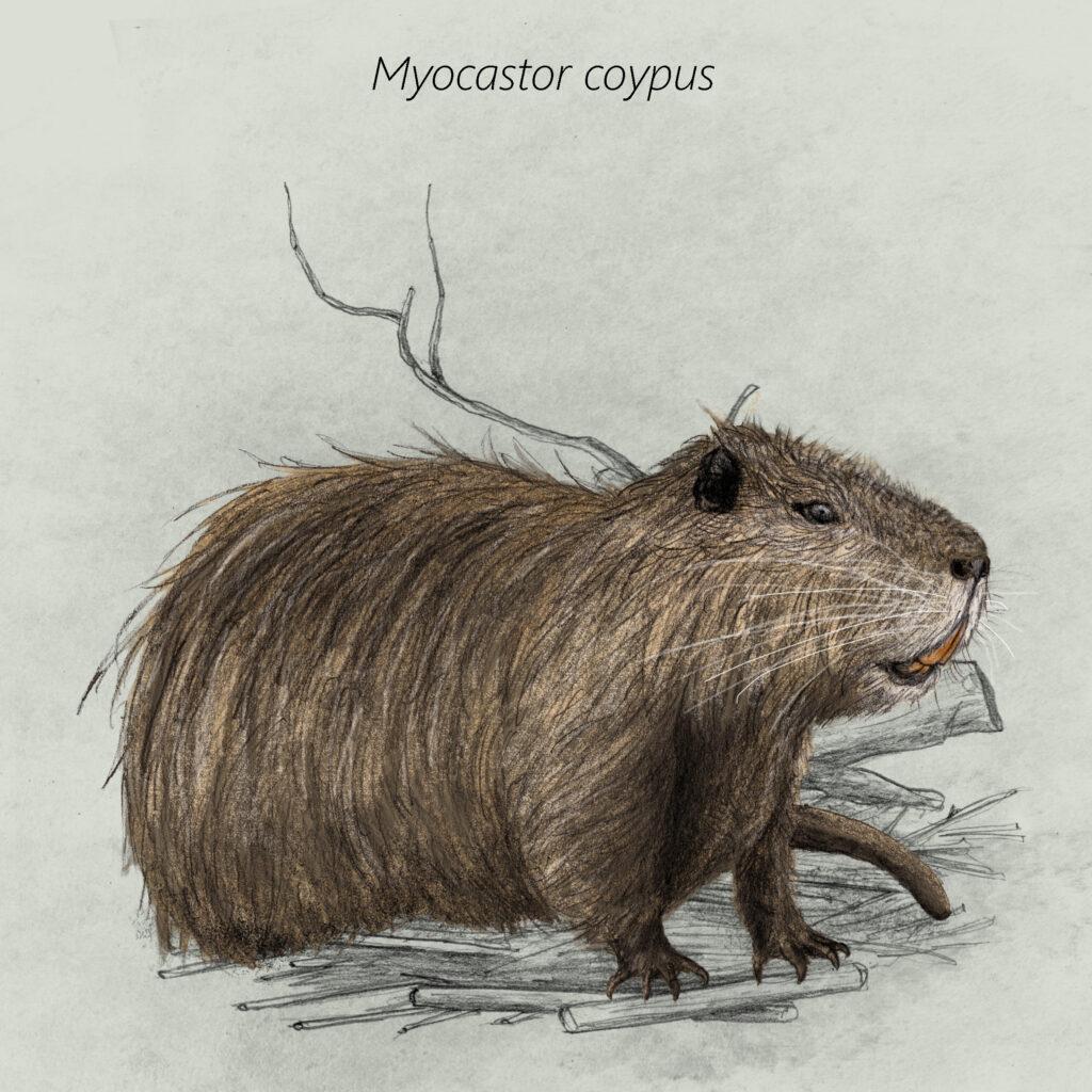 Myocastor coypus cal