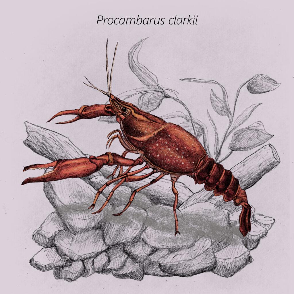 Procambarus clarkii cal