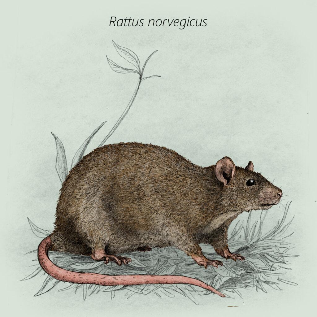 Rattus norvegicus cal
